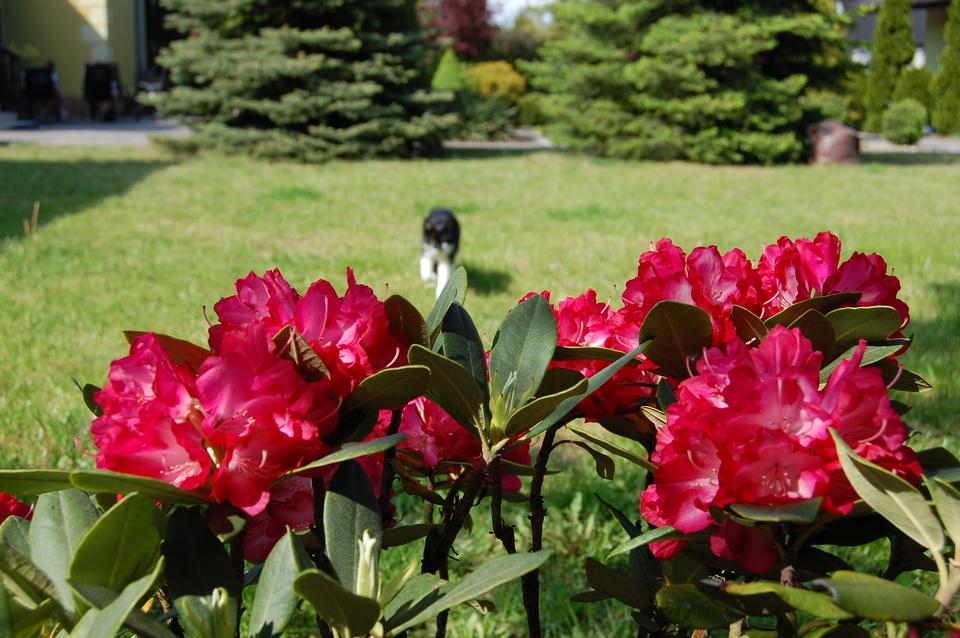 3rododendron z kotem