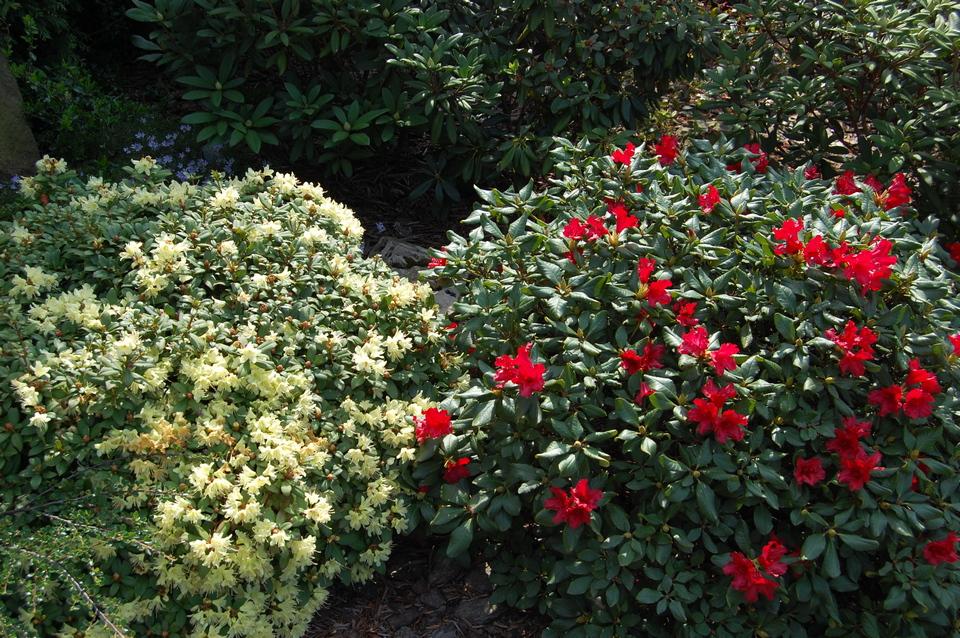 7rododendrony9.05