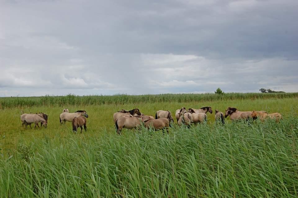 Rezerwat przyrody Beka - zabagnione łąki halofilne (słone), łąki zmiennowilgotne i młaki turzycowe oraz szuwary i formacje wydmowe (fot. Ewa Chwałko)